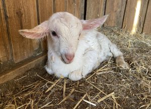 A baby goat